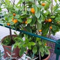 Växthus, Oliver, Fikon och en liten äppelplanta!