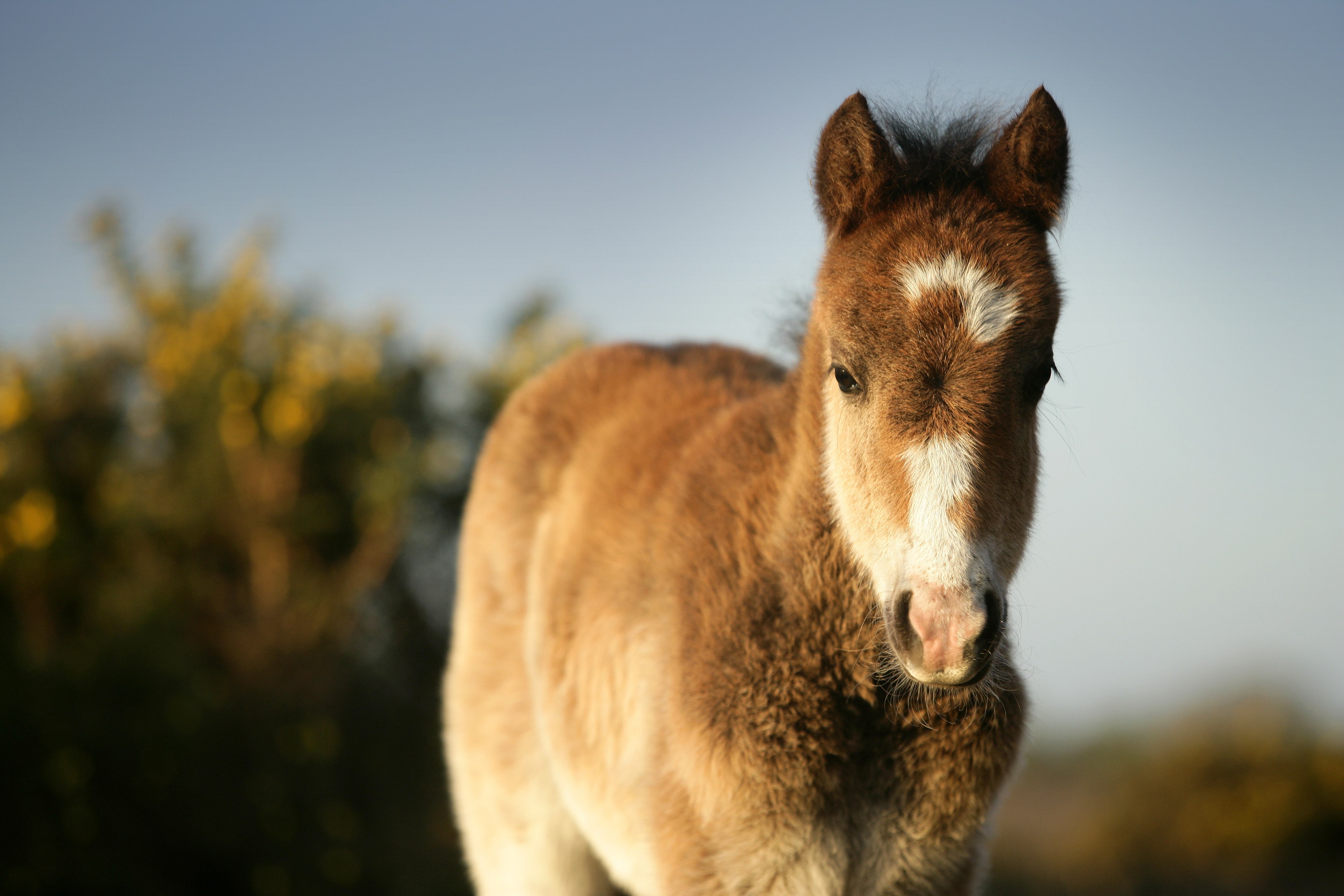 New born new forest foal