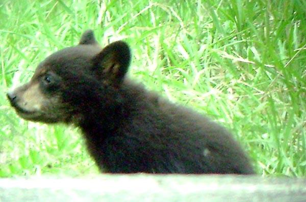Black Bear Cub - Luke Tiller