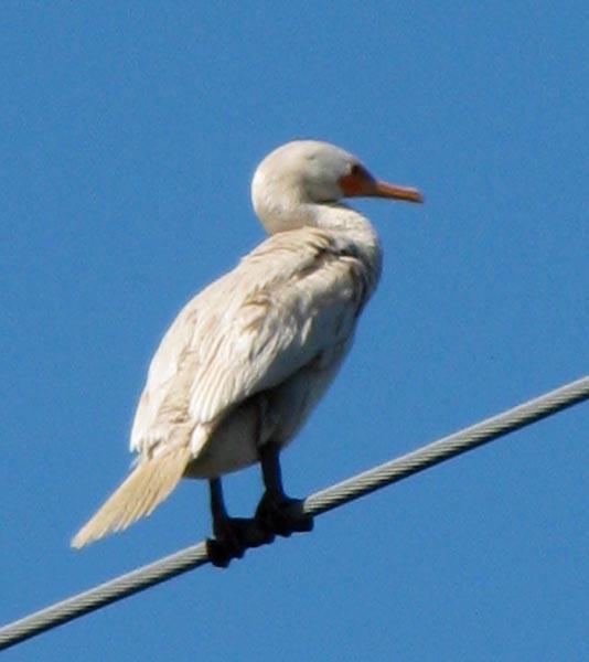 Albino Double-crested Cormorant - Dia Robinson