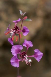 Clarkia Ungiuculata