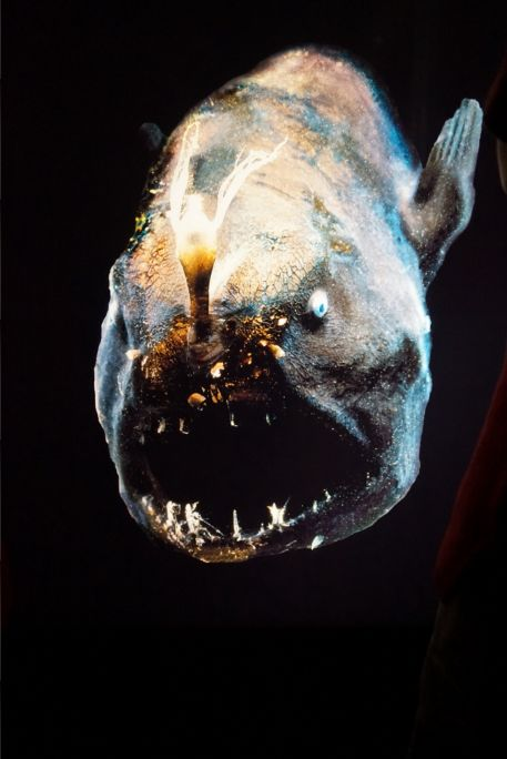 A pic of a real life Angler fish! Even more creepy than the dead and dull specimens.