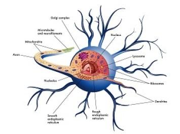 Neuron Components