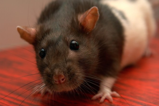 beautiful hooded rat