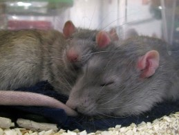 Mink/Blue rats sleeping