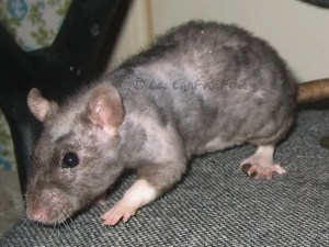 patchwork hairless rexing rat