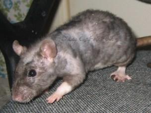 patchwork hairless rexing rat