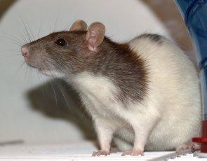standard coated rat