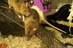 pet rat supplies