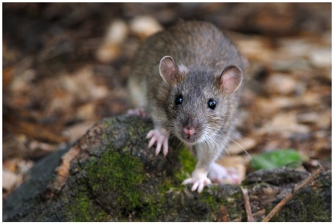 history of the pet brown rat Rattus norvegicus