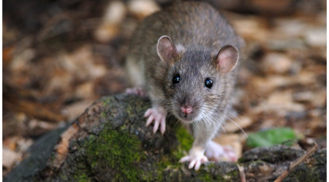 history of the pet brown rat Rattus norvegicus