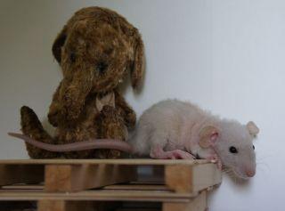 double rex dumbo rat, courtesy of Judi Cox.