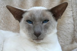blue point siamese rat example