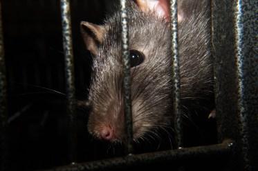 rat-253979_1280