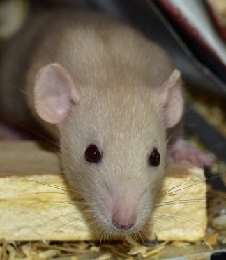 rat-833426_1280