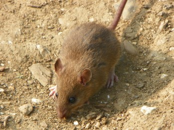 humanely trapping brown rats