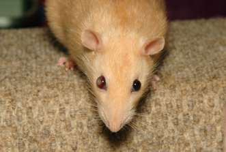 This rat has a much less serious case of bulging than the previous rat. As you can see, the swollen eyeball has some clouding. this can signal infection, blindness, or both. Photo Credit: Nickelrat on Photobucket