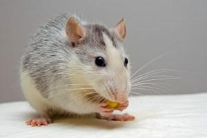 diabetic rat