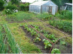 Growing produce at dacha