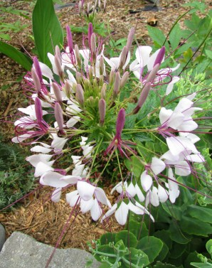 cleome blooms 2