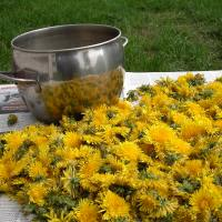 TIME FOR DANDELION SYRUP!