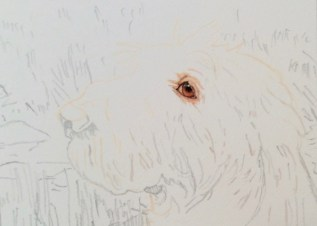 dog painting commission spinone italiano by rachelle siegrist - 1