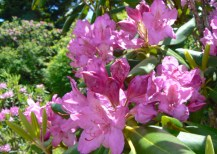 catawba rhododendrons on andrews bald