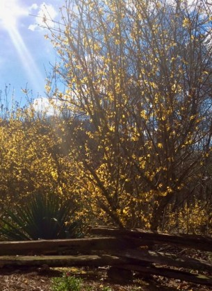 forsythia blooming siegrist yard