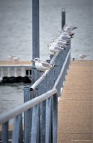 Seagulls lined up at the dock railing