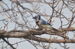 The Announcer: Mr. Blue Jay