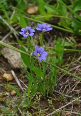 Blue-eyed Grass (Sisyrinchium)
