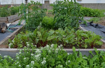 Oh, look at the beautiful Swiss chard and tomato plants. And there are some carrots in the background.
