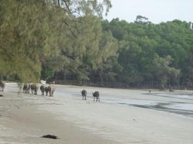 Water buffalo on Otres 3 Beach