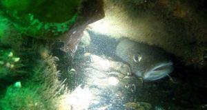 torsk vrag - Undervandsjagt på vrag - uvpodcast 15