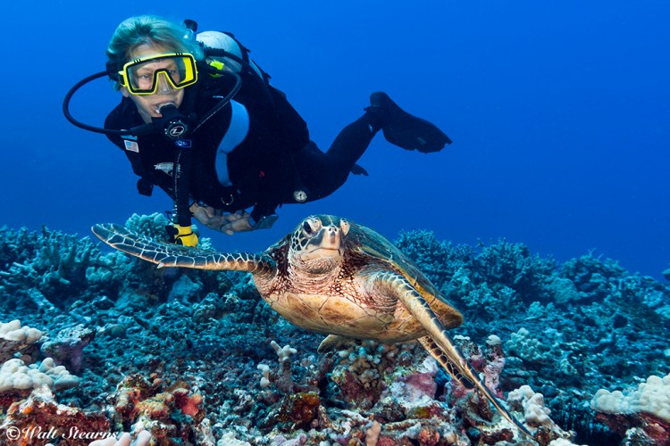 Green turtles along the Kona Coast are both plentiful and well accustomed to divers.