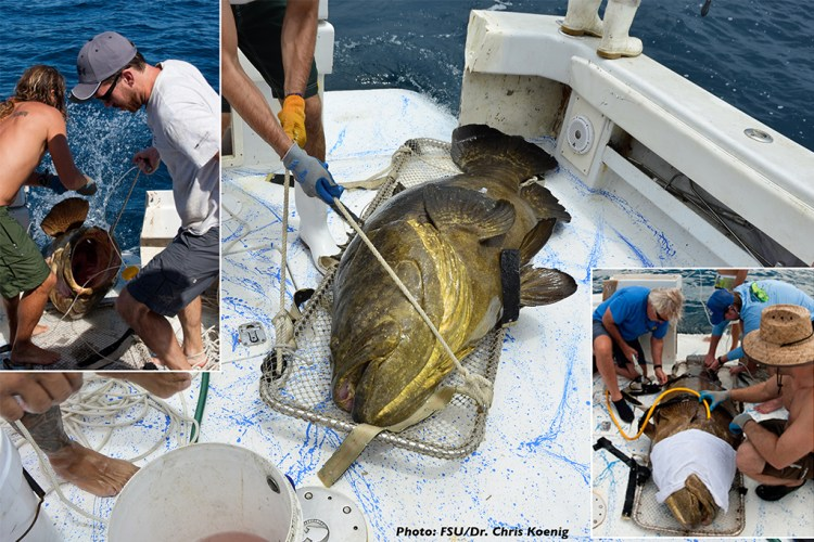 Dr. Chris Koenig and his research team from Florida Atlantic University (FSU) conducting sampling from a live Goliath Grouper before releasing it back into the wild.