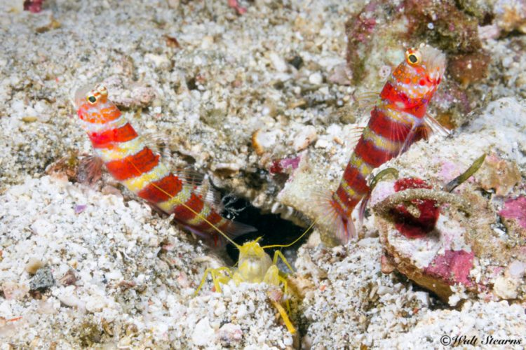 Pair of gorgeous shrimp gobies (Amblyeleotris wheeleri) live up to their name bright peppermint candy coloration.