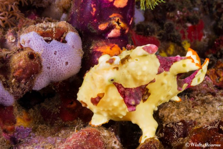 Warty Frogfish (Antennarius maculatus) from Monkey Beach.