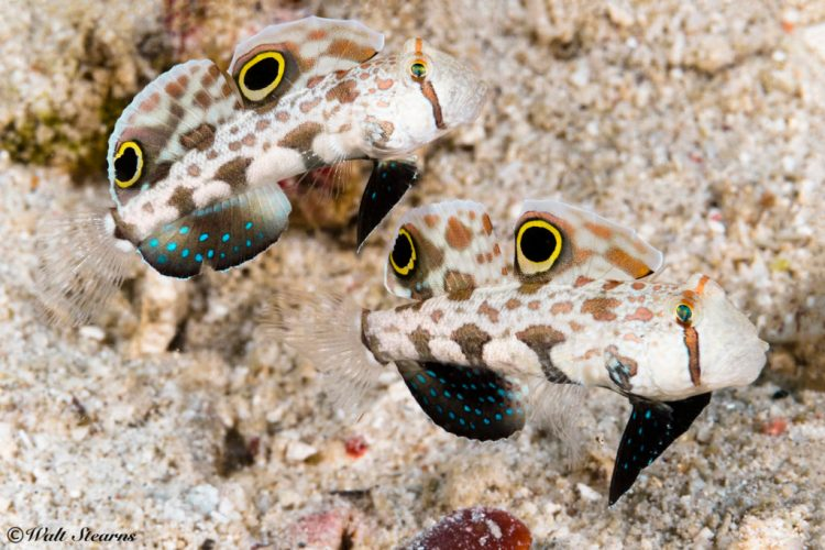 diving in the Philippines, few can compete with Anilao's extensive and diverse collection of marine macro fauna