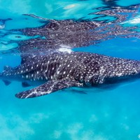 The Whale Sharks of Oslob
