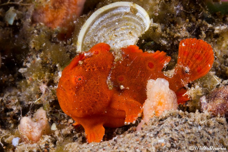 No bigger than a dime, a tiny juvenile painted frogfish as bright red as it is can be a challenging subject to spot.
