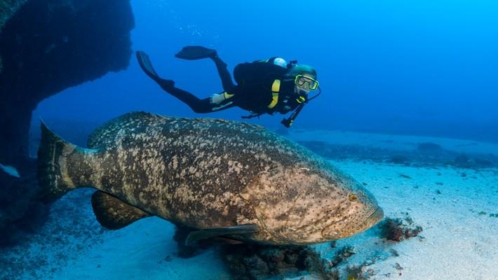 Florida's Goliath Grouper Under Fire – Again!