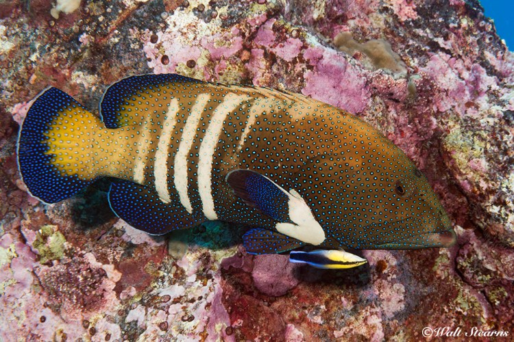 Peacock Grouper (Cephalopholis argus) - Hawaii