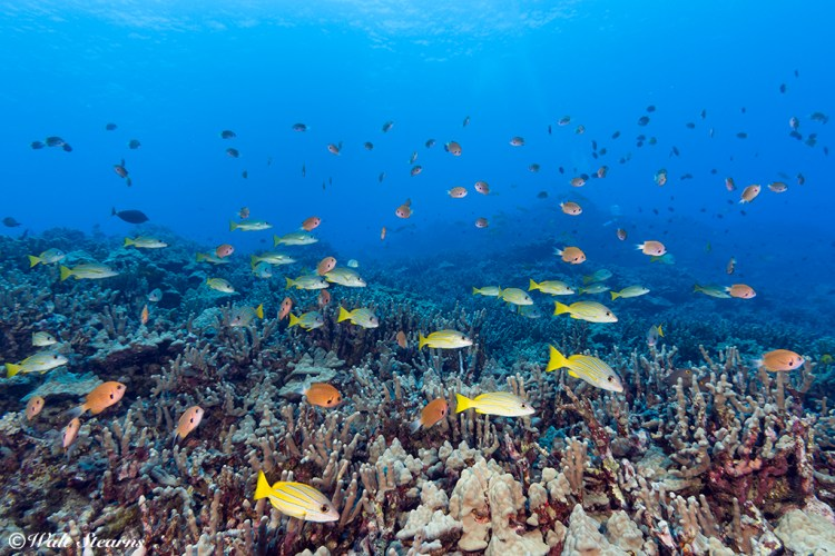 Dive site Turtle Pinnacle, Kona Coast, Big Island of Hawaii