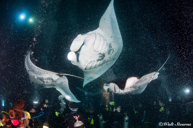 With divers remaining positioned on the bottom, manta rays glide overhead to feed on the plankton attracted to the lights brought by the divers.