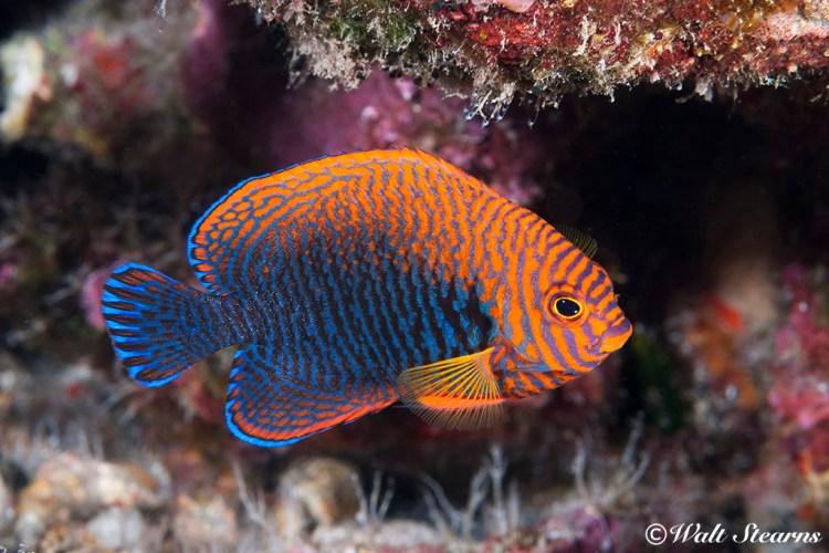 Potter's Angelfish (Centropyge potteri), Kona Hawaii