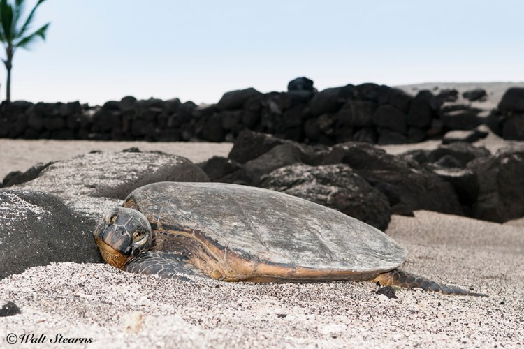 No, this green turtle is not dead. It's actually sleeping. For sea turtles to haul themselves out of the water to rest is a highly unusual trait among green turtles around the Big Island of Hawaii.