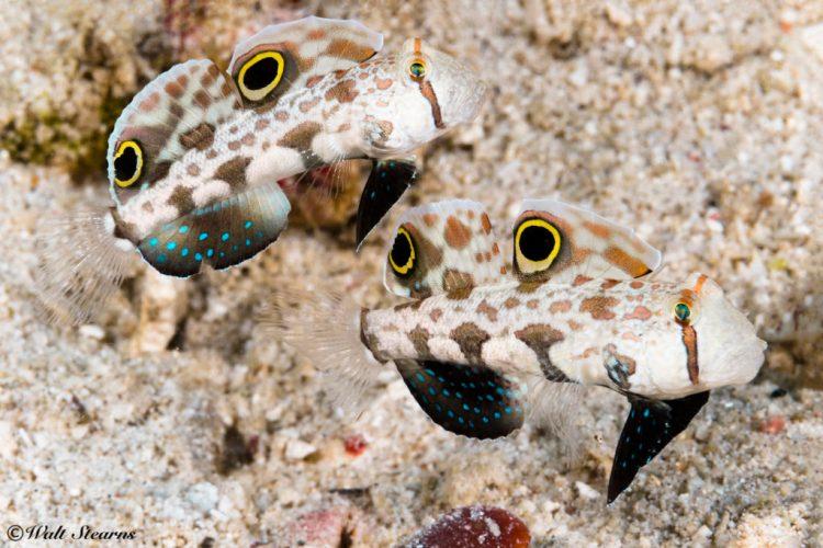 Pair of Signal Gobies (Signigobius biocellatus)
