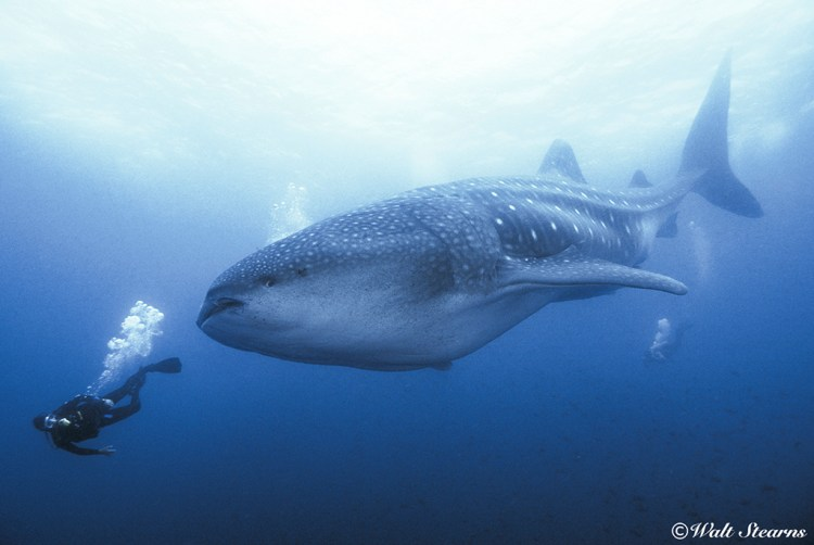 During the months from July through November is the best time of year for encunters with some of the largest (40 to 45 feet) whale sharks anywhere.