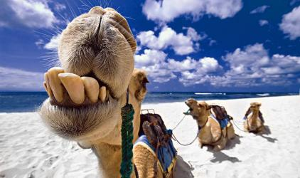 the-camels-of-the-three-k_4ae81ddebf7c0-p